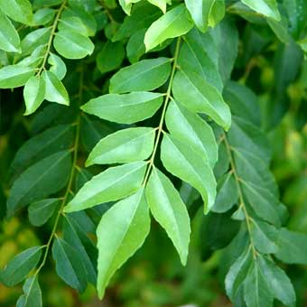Benefits of curry leaf
