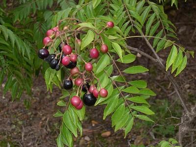 Curry leaf berries
