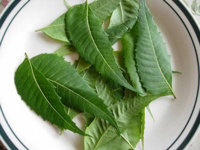 Indian lilac or neem benefits