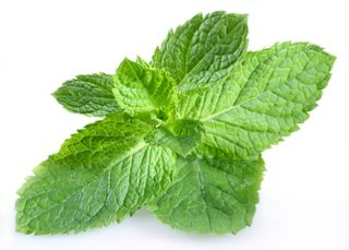 Benefits of field mint pudina