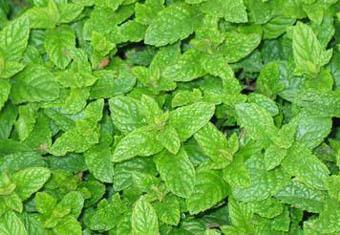 Field mint benefits
