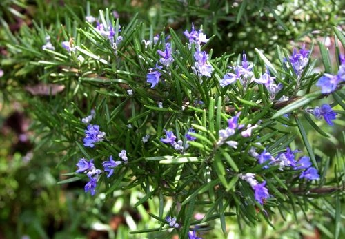 Rosemary herb for health